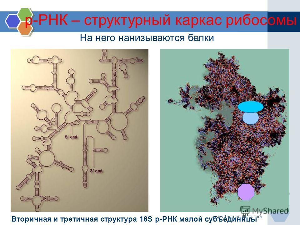 www.themegallery.com На него нанизываются белки Вторичная и третичная структура 16S р-РНК малой субъединицы р-РНК – структурный каркас рибосомы