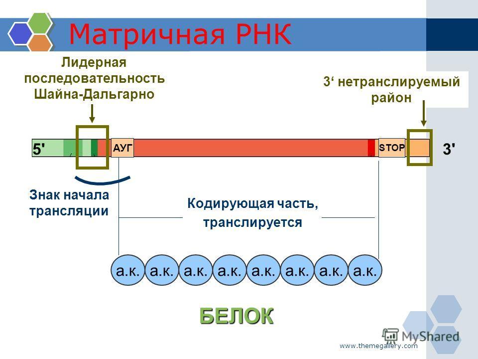 www.themegallery.com Матричная РНК Кодирующая часть, транслируется 3'3'5'5' Лидерная последовательность Шайна-Дальгарно а.к. БЕЛОК АУГ STOP 3 нетранслируемый район Знак начала трансляции