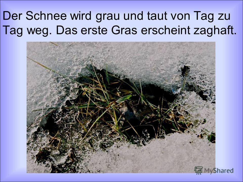 Der Schnee wird grau und taut von Tag zu Tag weg. Das erste Gras erscheint zaghaft.