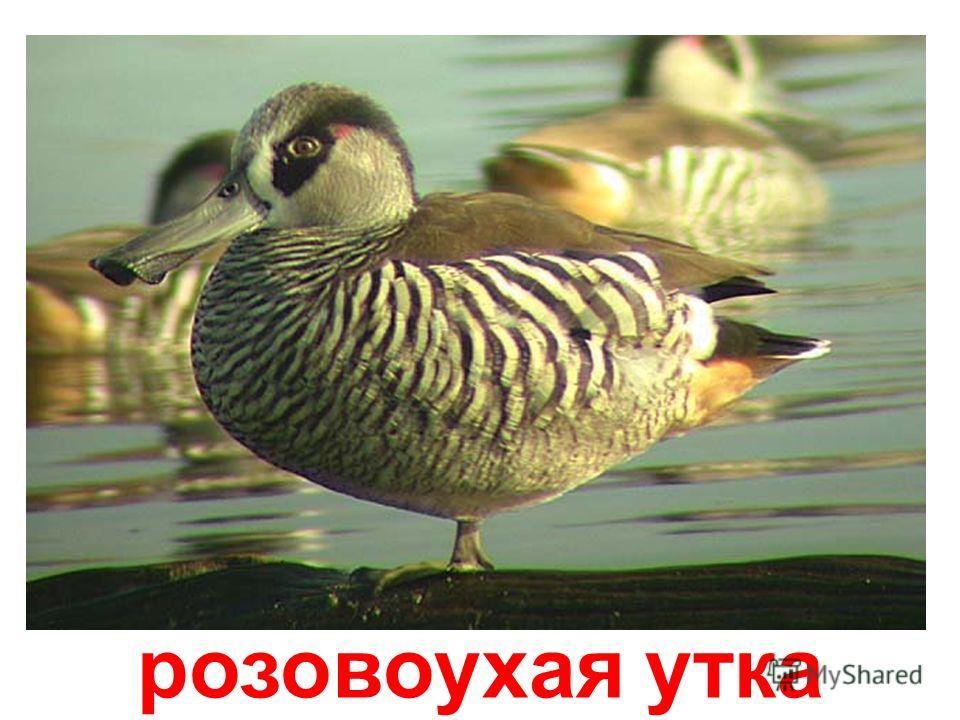 утка-вдовушка
