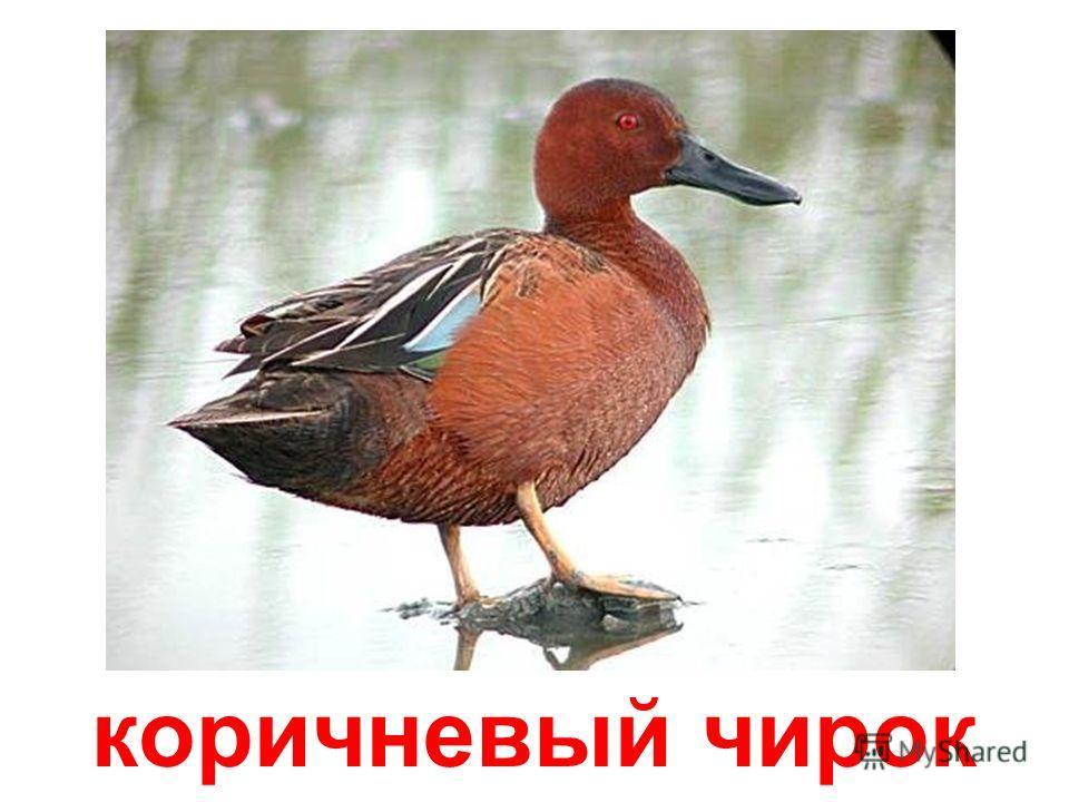 розовоухая утка