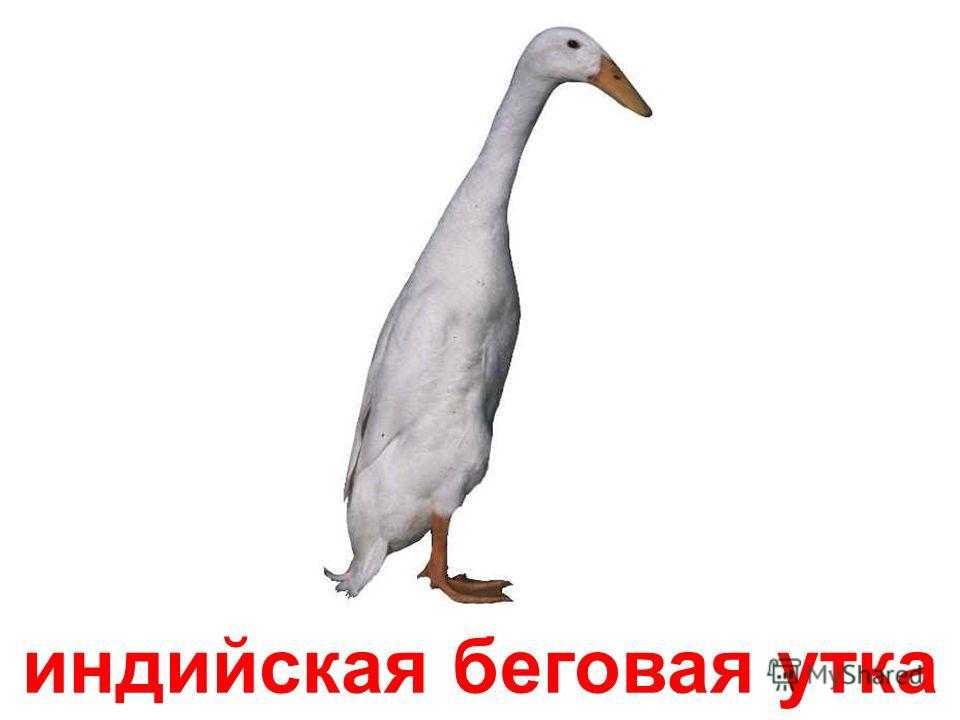 гага-гребенушка