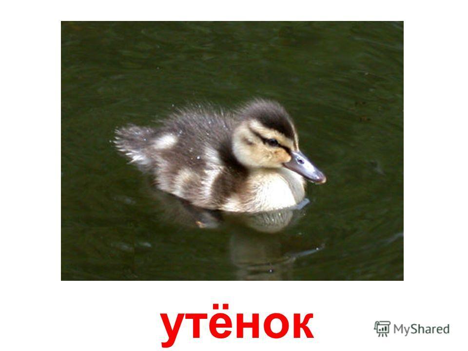 озёрная утка