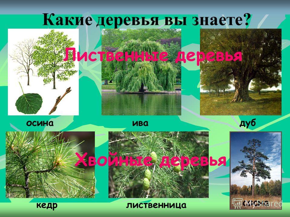 Дерево. Дерево, долговечное растение (обычно не ниже 2 м) с многолетними деревенеющими стеблями и корнями. У дерева всегда выражен главный стебель ствол с ветвями, образующими крону.