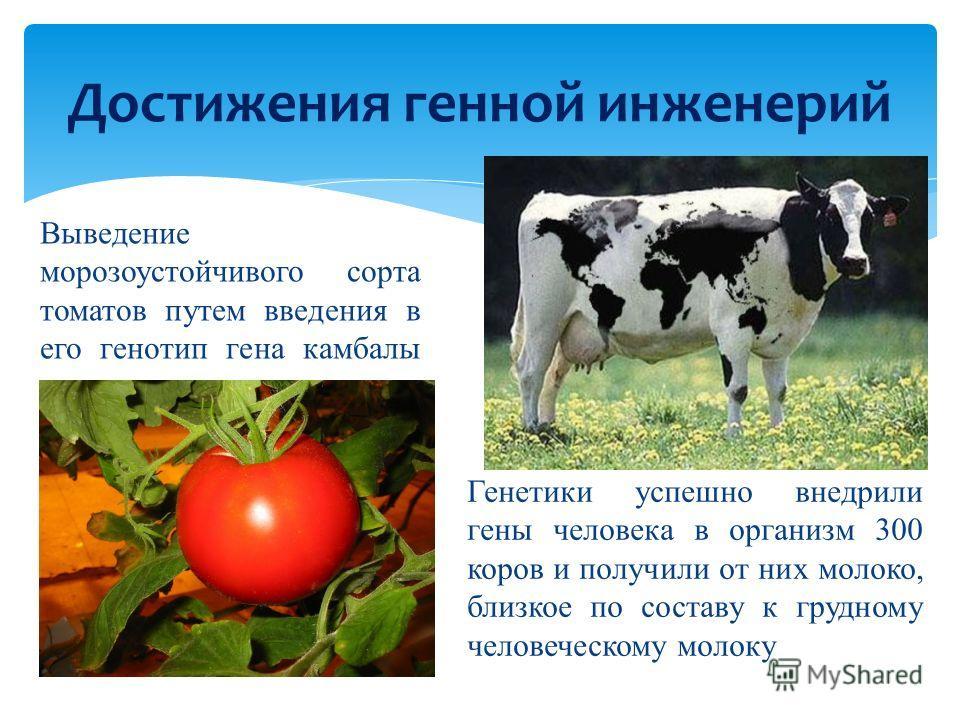 Достижения генной инженерий Выведение морозоустойчивого сорта томатов путем введения в его генотип гена камбалы Генетики успешно внедрили гены человека в организм 300 коров и получили от них молоко, близкое по составу к грудному человеческому молоку