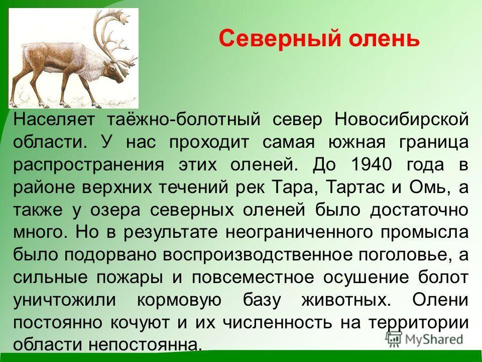 Северный олень Населяет таёжно-болотный север Новосибирской области. У нас проходит самая южная граница распространения этих оленей. До 1940 года в районе верхних течений рек Тара, Тартас и Омь, а также у озера северных оленей было достаточно много.