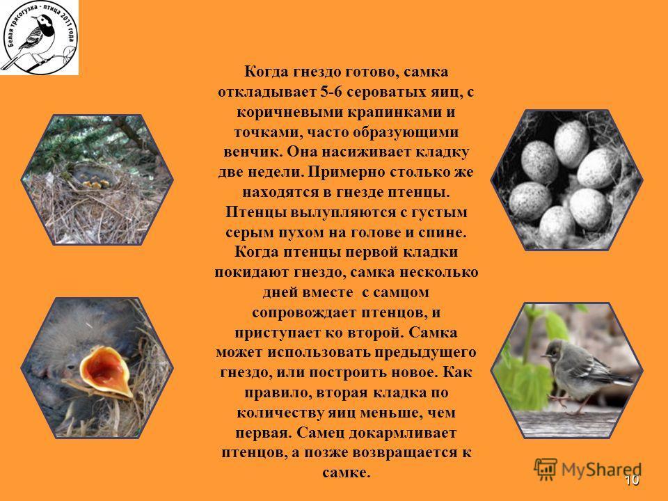 10 Когда гнездо готово, самка откладывает 5-6 сероватых яиц, с коричневыми крапинками и точками, часто образующими венчик. Она насиживает кладку две недели. Примерно столько же находятся в гнезде птенцы. Птенцы вылупляются с густым серым пухом на гол