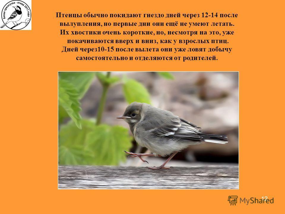 12 Птенцы обычно покидают гнездо дней через 12-14 после вылупления, но первые дни они ещё не умеют летать. Их хвостики очень короткие, но, несмотря на это, уже покачиваются вверх и вниз, как у взрослых птиц. Дней через 10-15 после вылета они уже ловя