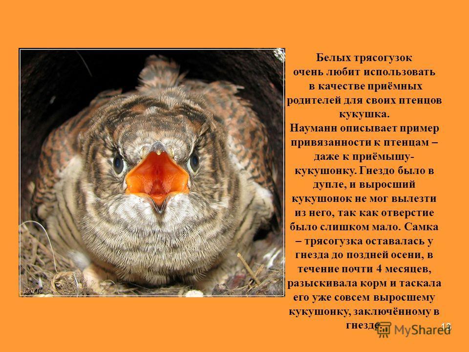 13 Белых трясогузок очень любит использовать в качестве приёмных родителей для своих птенцов кукушка. Науманн описывает пример привязанности к птенцам – даже к приёмышу- кукушонку. Гнездо было в дупле, и выросший кукушонок не мог вылезти из него, так