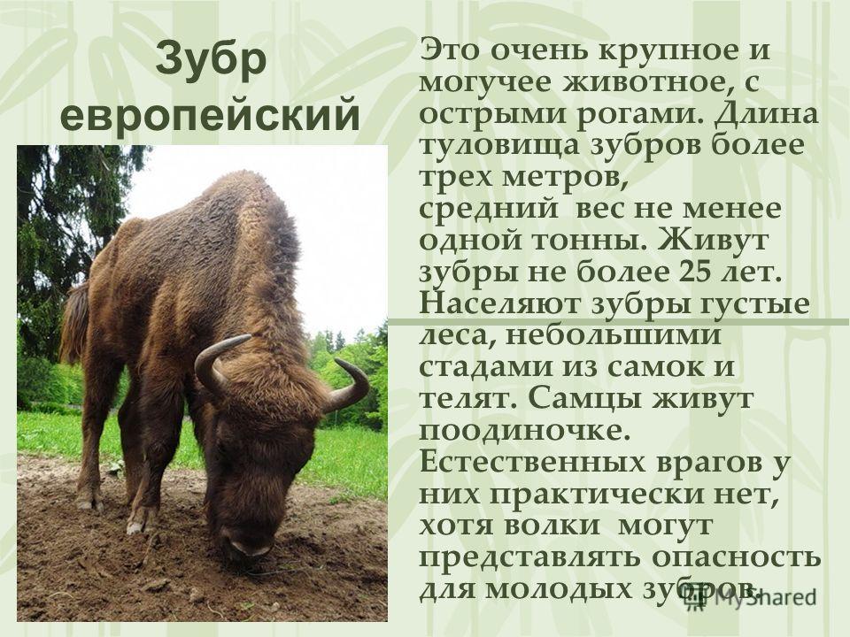 Зубр европейский Это очень крупное и могучее животное, с острыми рогами. Длина туловища зубров более трех метров, средний вес не менее одной тонны. Живут зубры не более 25 лет. Населяют зубры густые леса, небольшими стадами из самок и телят. Самцы жи