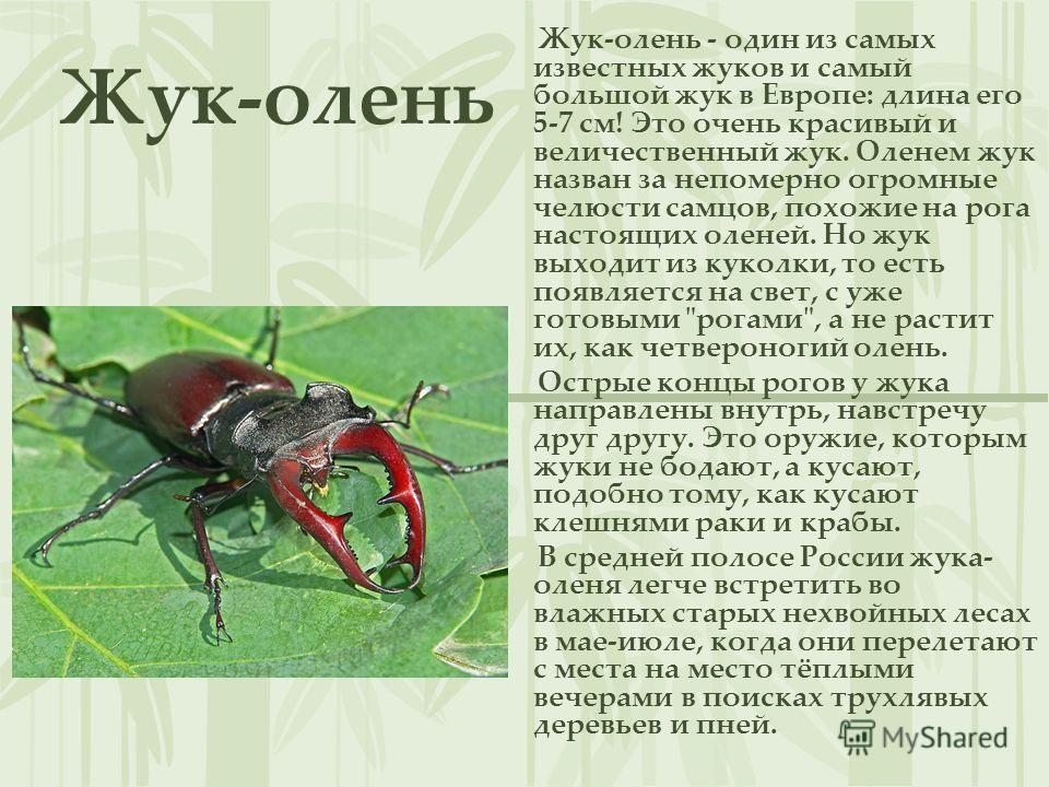 Жук-олень Жук-олень - один из самых известных жуков и самый большой жук в Европе: длина его 5-7 см! Это очень красивый и величественный жук. Оленем жук назван за непомерно огромные челюсти самцов, похожие на рога настоящих оленей. Но жук выходит из к