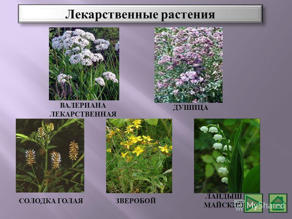 СОЛОДКА ГОЛАЯ ЗВЕРОБОЙ ЛАНДЫШ МАЙСКИЙ ВАЛЕРИАНА ЛЕКАРСТВЕННАЯ ДУШИЦА Лекарственные растения
