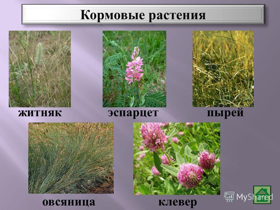 эспарцетпырейжитняк клевер овсяница Кормовые растения