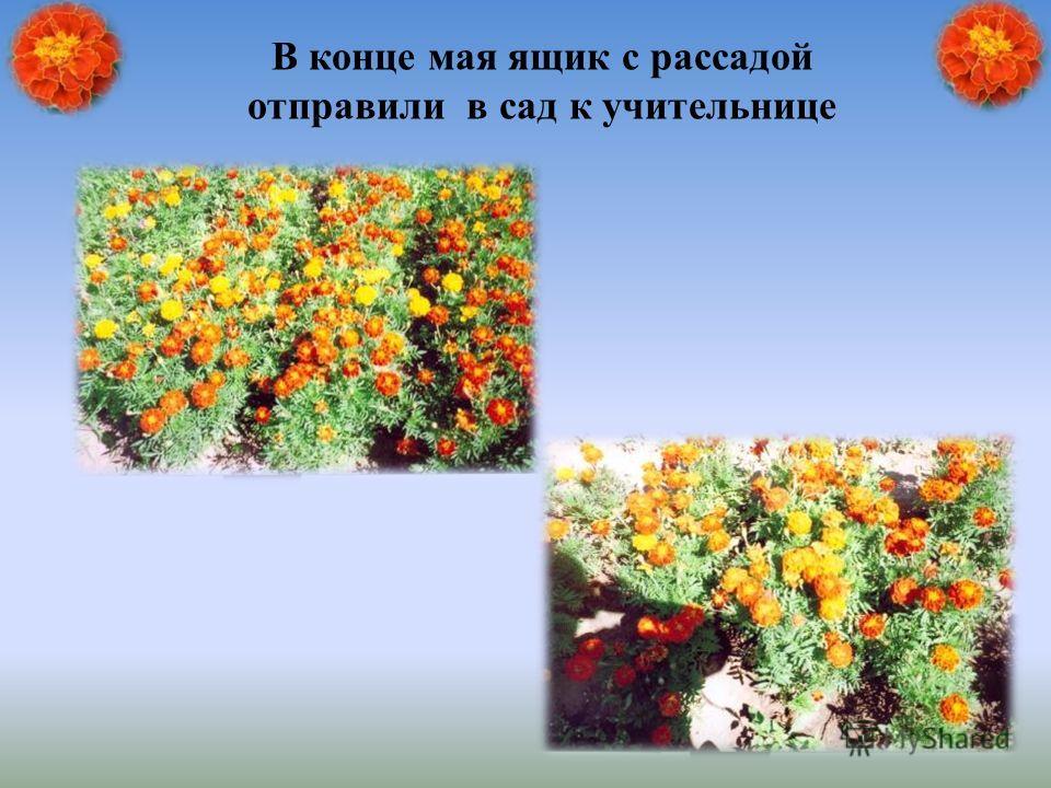 В конце мая ящик с рассадой отправили в сад к учительнице
