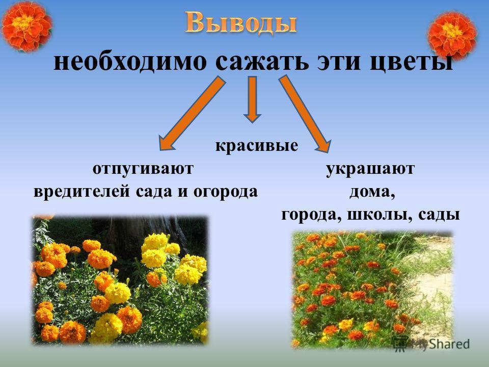 отпугивают вредителей сада и огорода красивые украшают дома, города, школы, сады