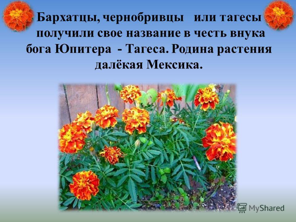 Бархатцы, чернобривцы или тагесы получили свое название в честь внука бога Юпитера - Тагеса. Родина растения далёкая Мексика.