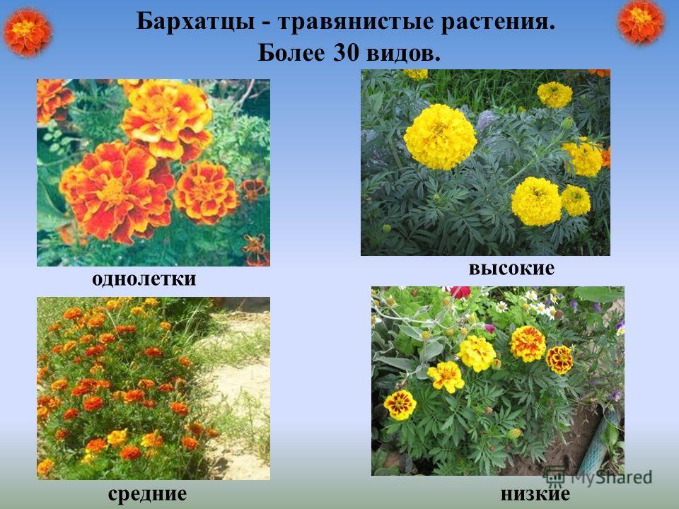 низкие высокие средние однолетки Бархатцы - травянистые растения. Более 30 видов.