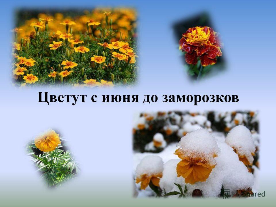 Цветут с июня до заморозков