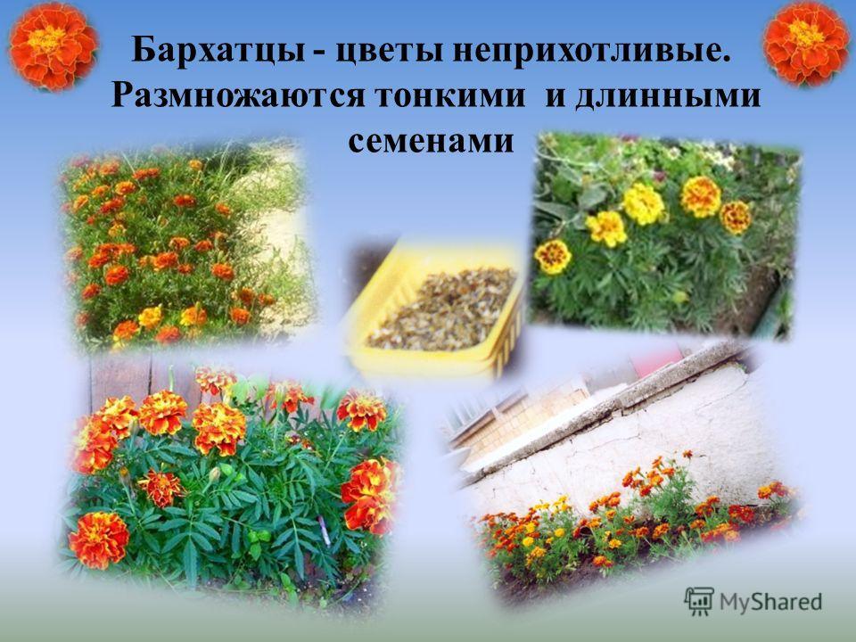 Бархатцы - цветы неприхотливые. Размножаются тонкими и длинными семенами