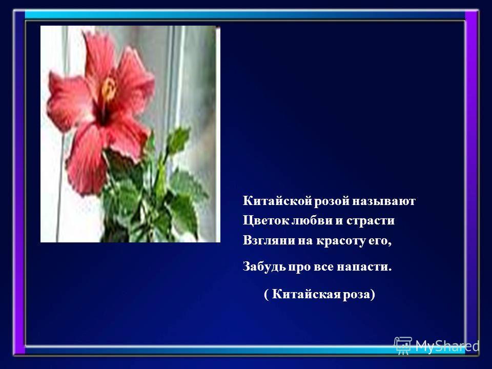 Китайской розой называют Цветок любви и страсти Взгляни на красоту его, Забудь про все напасти. ( Китайская роза)