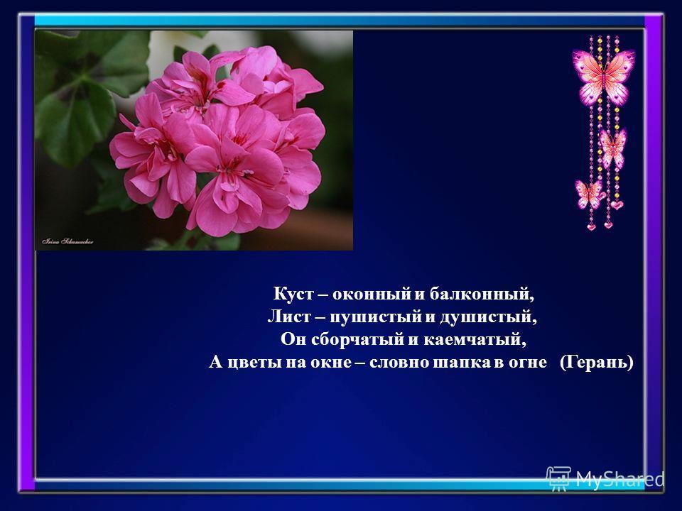 Куст – оконный и балконный, Лист – пушистый и душистый, Он сборчатый и каемчатый, А цветы на окне – словно шапка в огне (Герань)