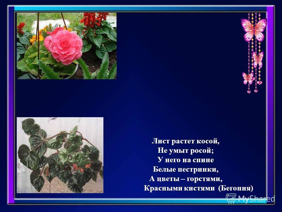 Лист растет косой, Не умыт росой; У него на спине Белые пестрянки, А цветы – горстями, Красными кистями (Бегония)