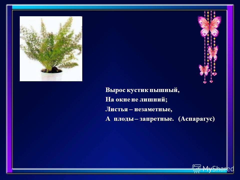 Вырос кустик пышный, На окне не лишний; Листья – незаметные, А плоды – запретные. (Аспарагус)