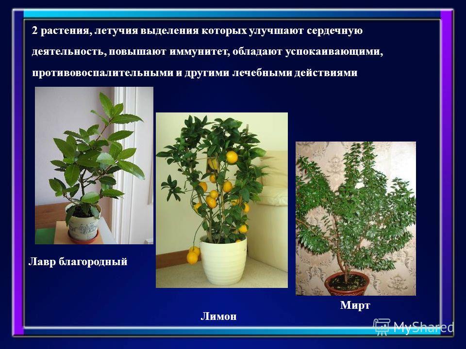 2 растения, летучие выделения которых улучшают сердечную деятельность, повышают иммунитет, обладают успокаивающими, противовоспалительными и другими лечебными действиями Лавр благородный Лимон Мирт