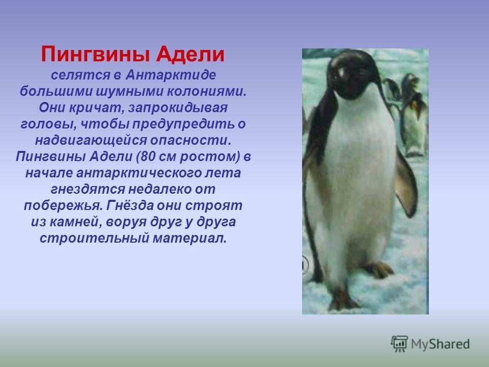 Пингвины Адели селятся в Антарктиде большими шумными колониями. Они кричат, запрокидывая головы, чтобы предупредить о надвигающейся опасности. Пингвины Адели (80 см ростом) в начале антарктического лета гнездятся недалеко от побережья. Гнёзда они стр