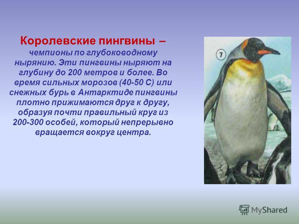 Королевские пингвины – чемпионы по глубоководному нырянию. Эти пингвины ныряют на глубину до 200 метров и более. Во время сильных морозов (40-50 С) или снежных бурь в Антарктиде пингвины плотно прижимаются друг к другу, образуя почти правильный круг