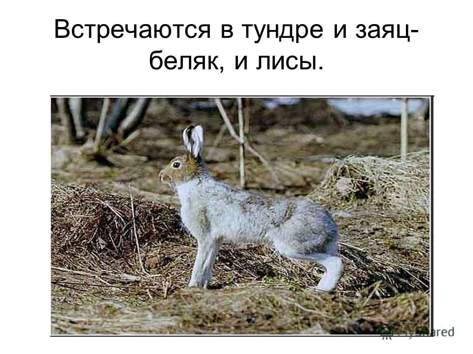 Встречаются в тундре и заяц- беляк, и лисы.