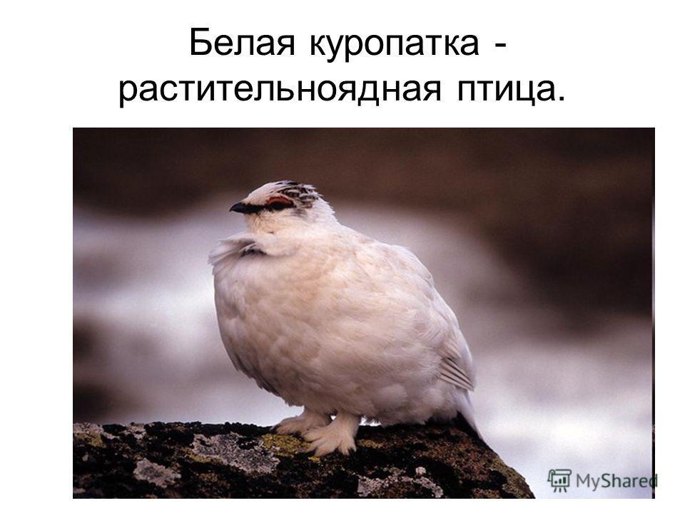 Белая куропатка - растительноядная птица.