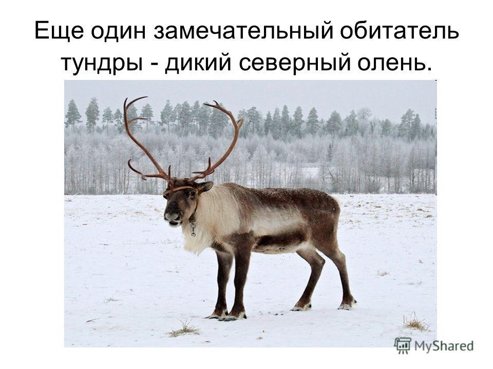 Еще один замечательный обитатель тундры - дикий северный олень.