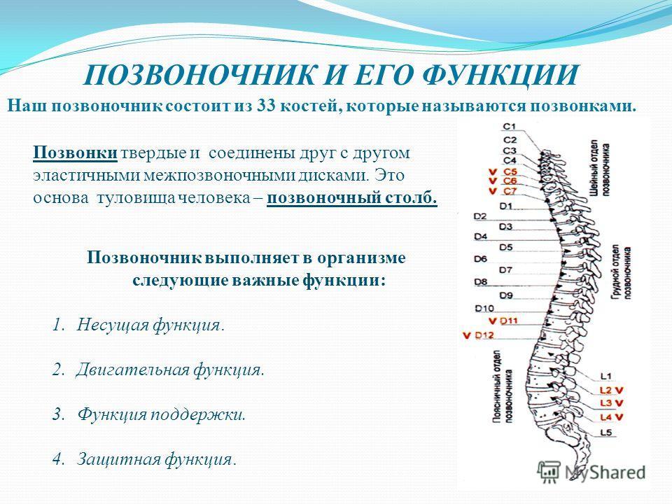 Наш позвоночник состоит из 33 костей, которые называются позвонками. Позвонки твердые и соединены друг с другом эластичными межпозвоночными дисками. Это основа туловища человека – позвоночный столб. Позвоночник выполняет в организме следующие важные