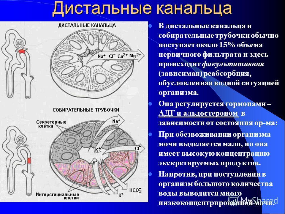 Дистальные канальца В дистальные канальца и собирательные трубочки обычно поступает около 15% объема первичного фильтрата и здесь происходит факультативная (зависимая) реабсорбция, обусловленная водной ситуацией организма. Она регулируется гормонами