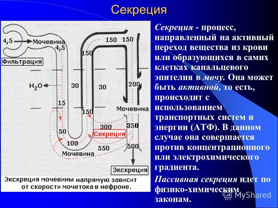 Секреция Секреция - процесс, направленный на активный переход вещества из крови или образующихся в самих клетках канальцевого эпителия в мочу. Она может быть активной, то есть, происходит с использованием транспортных систем и энергии (АТФ). В данном