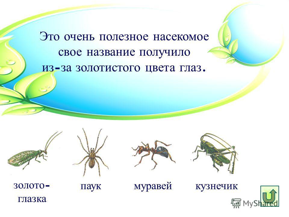 Это очень полезное насекомое свое название получило из - за золотистого цвета глаз. паук золото - глазка муравей кузнечик
