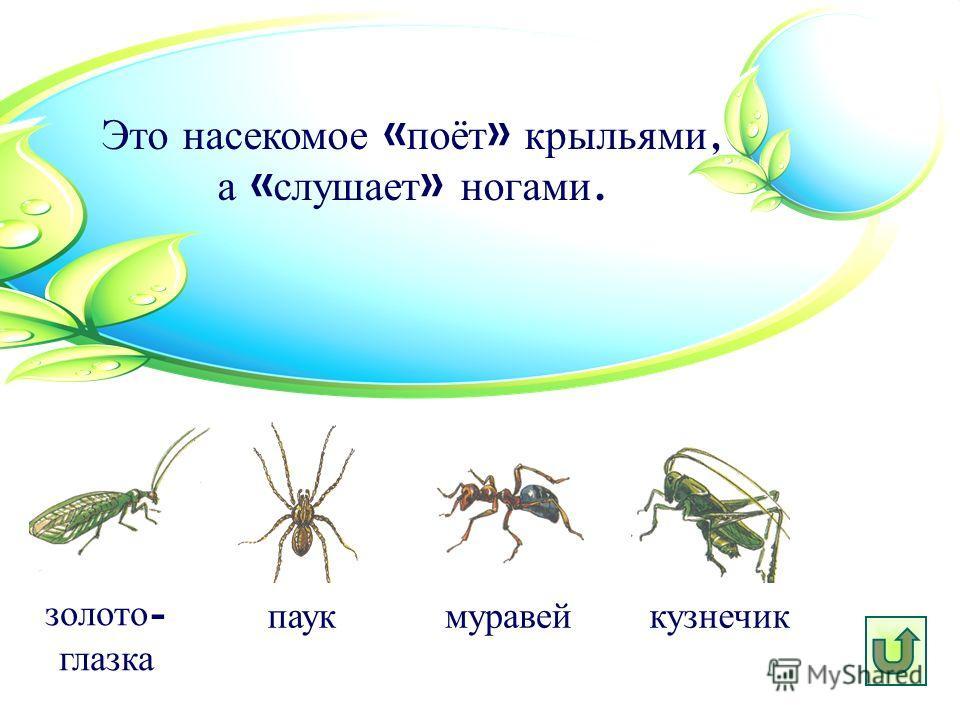 Это насекомое « поёт » крыльями, а « слушает » ногами. паук золото - глазка муравей кузнечик