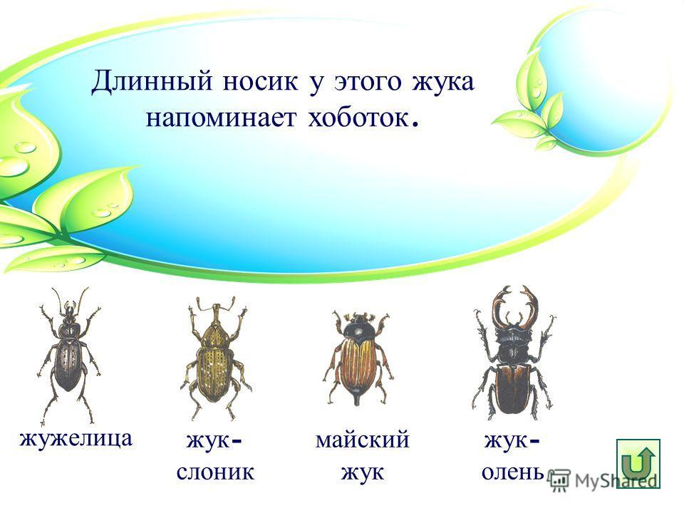 Длинный носик у этого жука напоминает хоботок. жук - слоник жужелица майский жук жук - олень