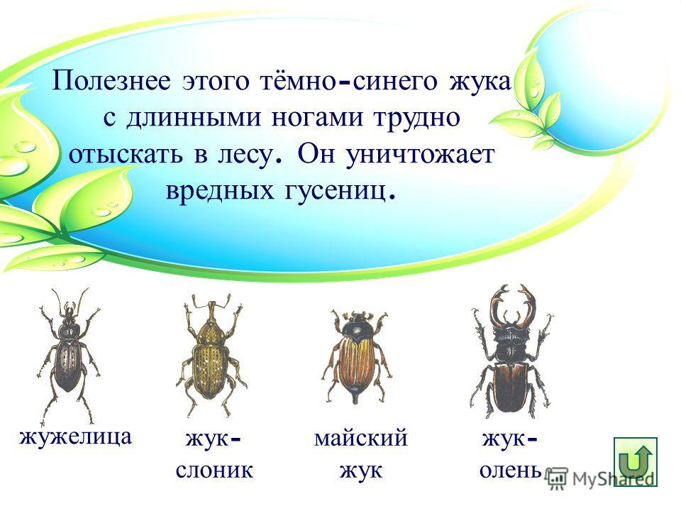 Полезнее этого тёмно - синего жука с длинными ногами трудно отыскать в лесу. Он уничтожает вредных гусениц. жук - слоник жужелица майский жук жук - олень
