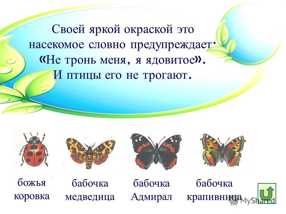 Своей яркой окраской это насекомое словно предупреждает : « Не тронь меня, я ядовитое ». И птицы его не трогают. бабочка медведица божья коровка бабочка Адмирал бабочка крапивница