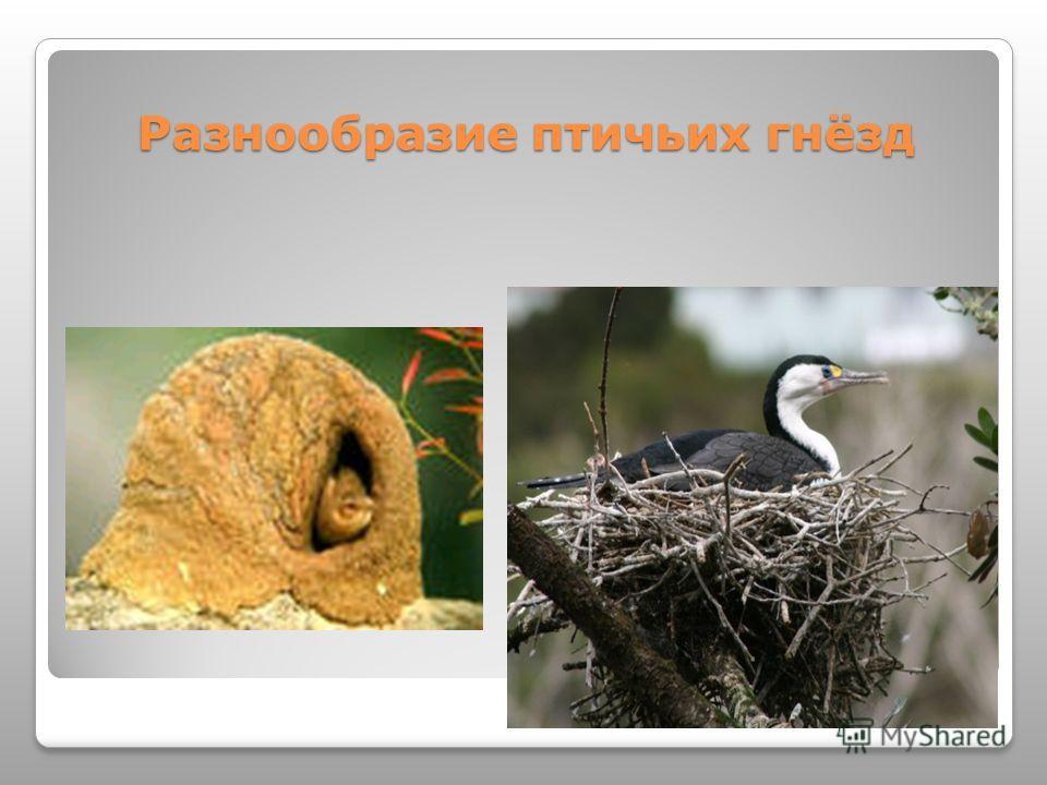 Разнообразие птичьих гнёзд