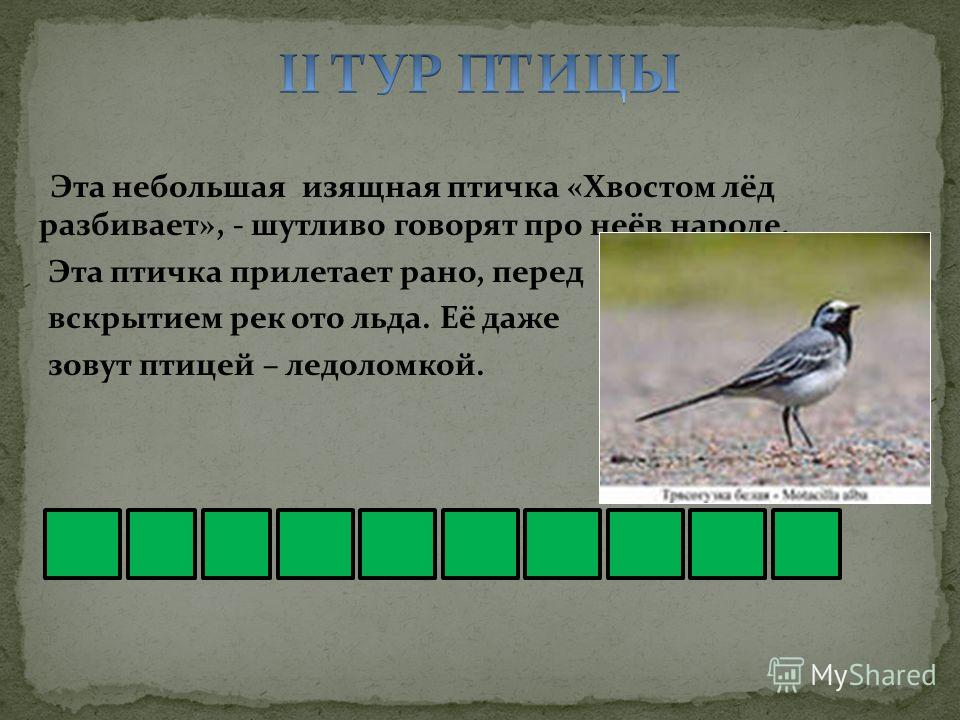 Эта небольшая изящная птичка «Хвостом лёд разбивает», - шутливо говорят про неё в народе. Эта птичка прилетает рано, перед вскрытием рек ото льда. Её даже зовут птицей – ледоломкой.