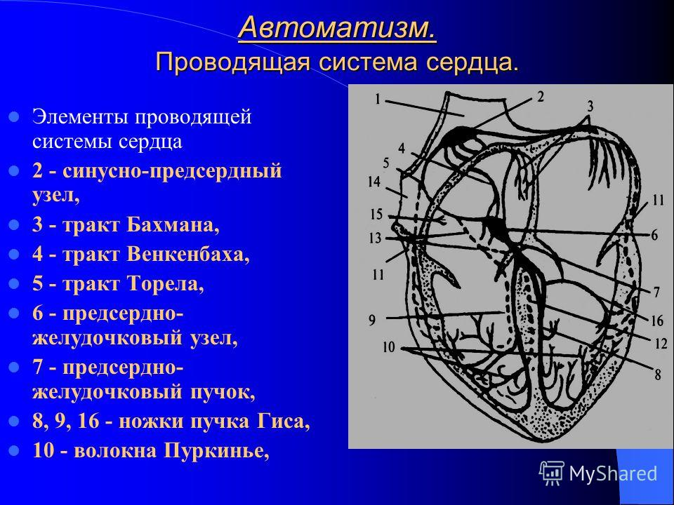 Автоматизм. Проводящая система сердца. Элементы проводящей системы сердца 2 - синусно-предсердный узел, 3 - тракт Бахмана, 4 - тракт Венкенбаха, 5 - тракт Торела, 6 - предсердно- желудочковый узел, 7 - предсердно- желудочковый пучок, 8, 9, 16 - ножки