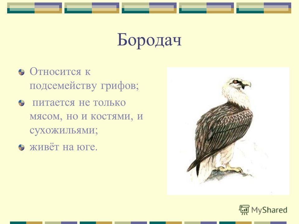 Бородач Относится к подсемейству грифов; питается не только мясом, но и костями, и сухожильями; живёт на юге.