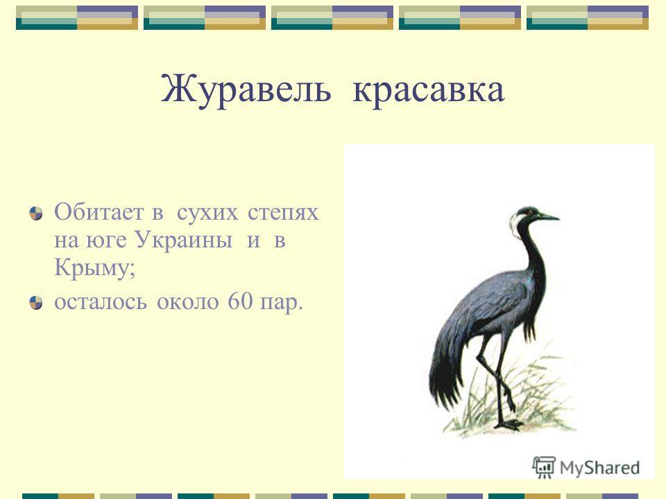 Журавель красавка Обитает в сухих степях на юге Украины и в Крыму; осталось около 60 пар.