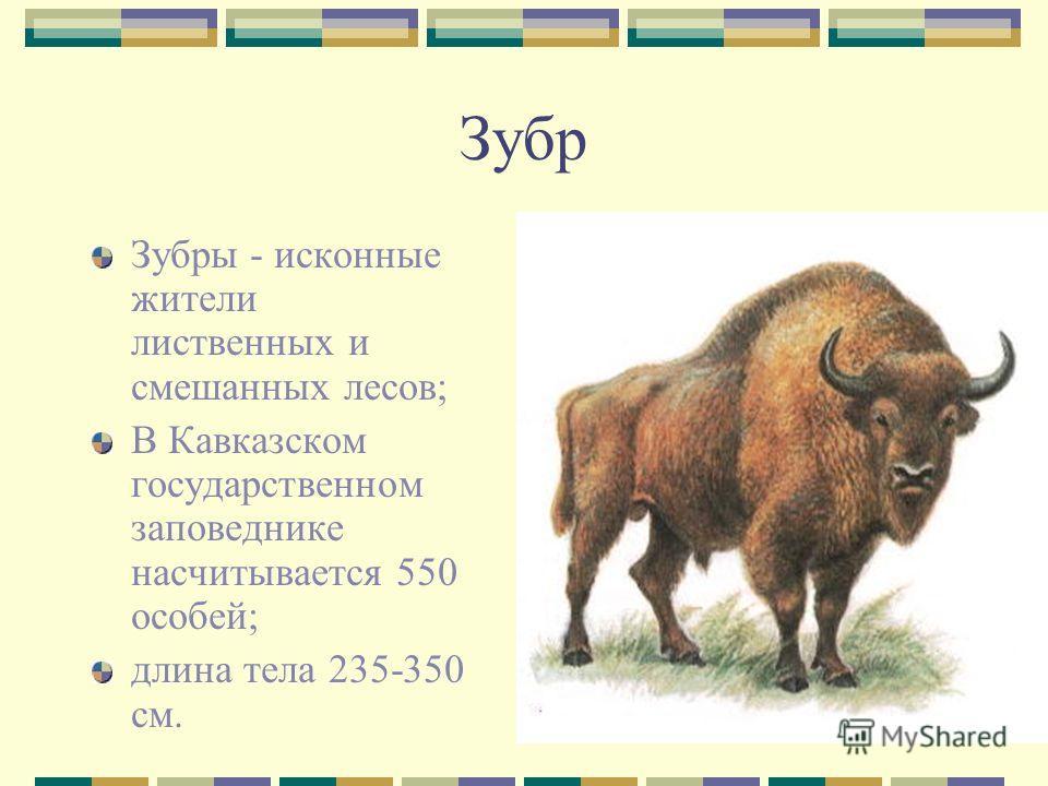 Зубр Зубры - исконные жители лиственных и смешанных лесов; В Кавказском государственном заповеднике насчитывается 550 особей; длина тела 235-350 см.