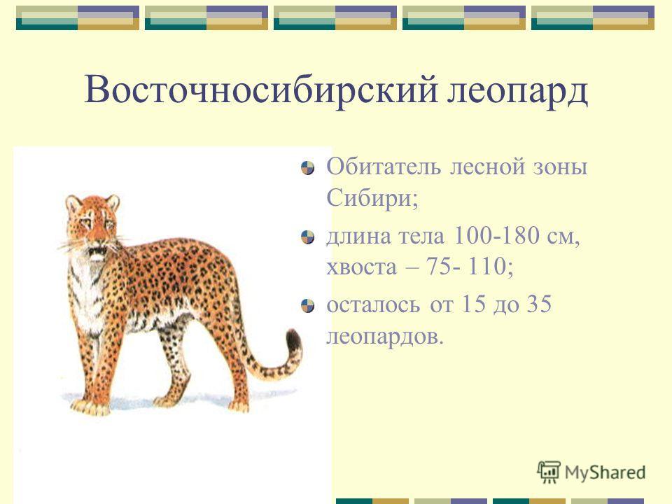 Восточносибирский леопард Обитатель лесной зоны Сибири; длина тела 100-180 см, хвоста – 75- 110; осталось от 15 до 35 леопардов.