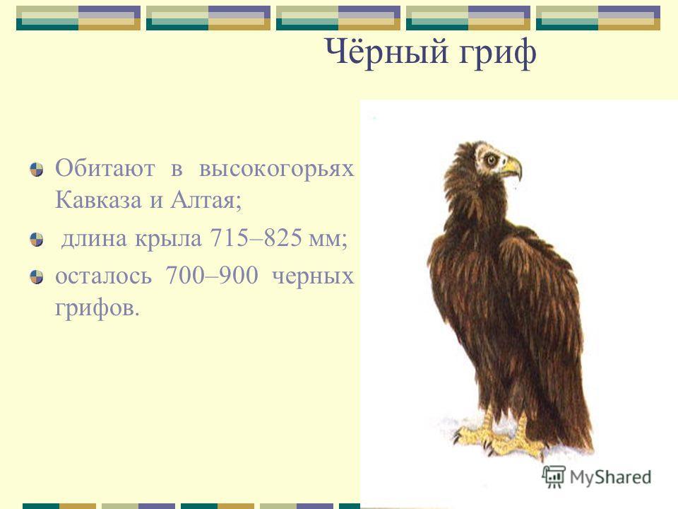 Чёрный гриф Обитают в высокогорьях Кавказа и Алтая; длина крыла 715–825 мм; осталось 700–900 черных грифов.
