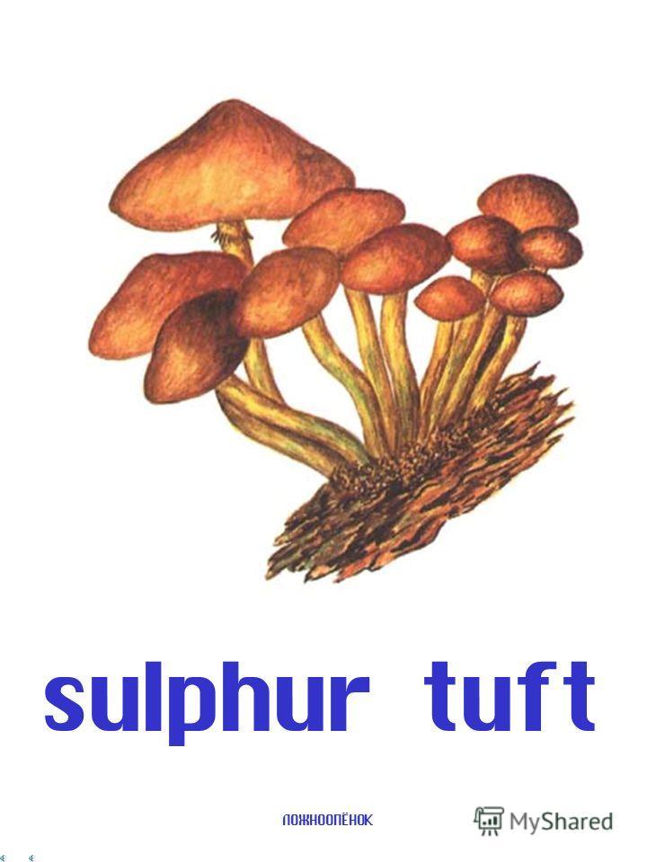 ТРУТОВИК bracket fungus